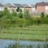 In a pond in Brampton, Ont., are half a dozen oblong islands that weren't there last summer.