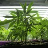 Young marijuana plants at a medical marijuana growing operation.