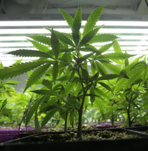 Young marijuana plants at a medical marijuana growing operation.